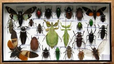 26 Real Beetle Boxed Rare Insect Display PHYLLIUM Bug Taxidermy Entomology