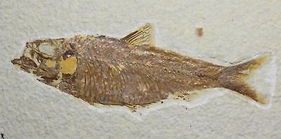 Fossil Fish, Knightia eocena, 4.38 inches, Green River Formation, Wyoming