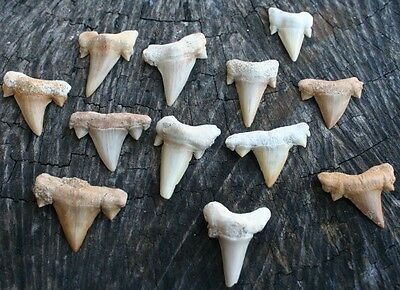 12 pcs OTODUS FOSSIL SHARK TEETH (size: 30-40mm)