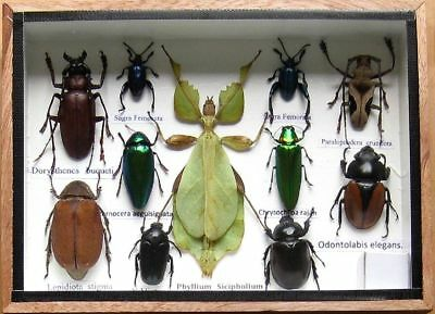11 Real Beetle Rare Insect Display PHYLLIUM Bug Taxidermy in Box Collectible