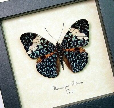 Real Framed Hamadryas Aeinome Blue Paisley Cracker Butterfly 7937