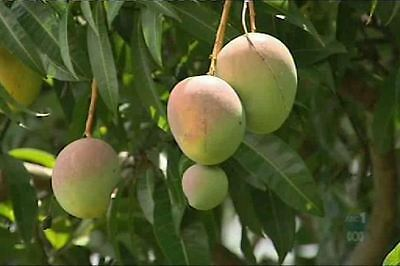 Mango R2E2 fruit Tree - Mangifera indica- GRAFTED 80cm tall tree