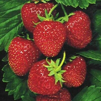 Strawberry One Time- Fragaria Ananassa -25 Seeds