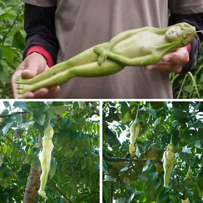 6A6A EA1E 10Pcs Rare Female Ginseng Health Fruit Seeds Pepino Exotic Home Plants