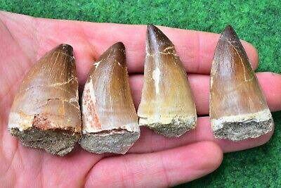 6cm Extra Large Cretolamna Fossil Shark Tooth, 100% Real Fossil #36