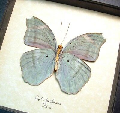 Real Framed Euphaedra Spatiosa Female Verso Green Forester Butterfly 8286