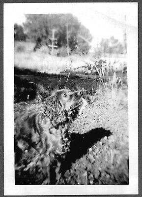Vintage Photograph 1930's-1940's Cocker Spaniel Hunting Bird Water Dog Old Photo