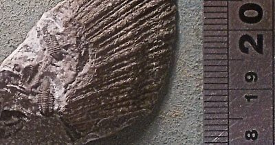 Fine multiple Cummingella carringtonensis trilobite; Carboniferous of Derbyshire