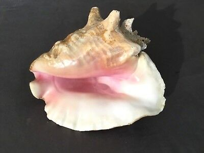 """Large 9"""" Queen Conch Shell Natural Uncleaned 3lbs 12oz"""
