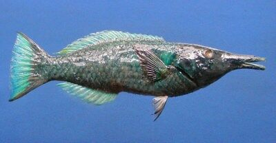 80374 Bird Wrasse Gomphosus varius 205 mm  Freeze Dried Fish Taxidermy