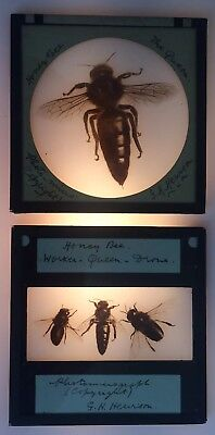 Magic Lantern Slide Honey Bee The Queen Worker Drone Early 1900's G H Hewison