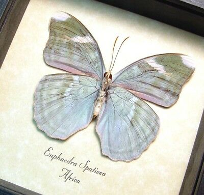 Real Framed Euphaedra Spatiosa Verso Green Forester Butterfly 8287