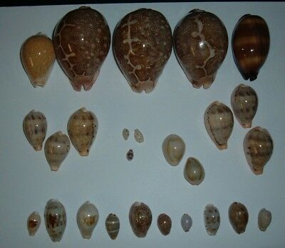 Collection Of 26 Nice Assorted Cypraea ,many Gem!