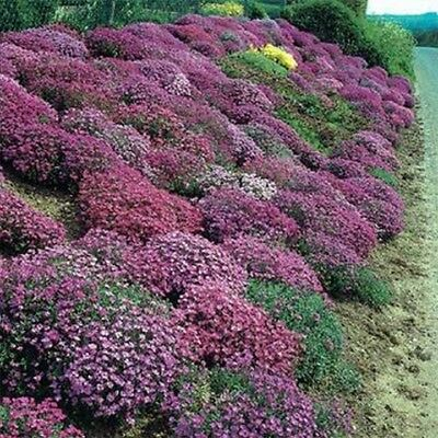Rock Cress (Aubrieta)- Cascade Mix - 50 Seeds -
