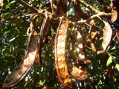 evergreen, exotic, fruit tree, Carob Tree, St Johns Bread, CERATONIA SILIQUA