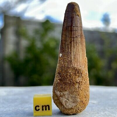 Spinosaurus Dinosaur Tooth Fossil - found in Morocco - Cretaceous Age - FSE086