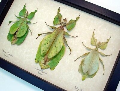 Real Framed Phyllium Sp. Female Flying Green Leaf Mimic Insect Collection 8563