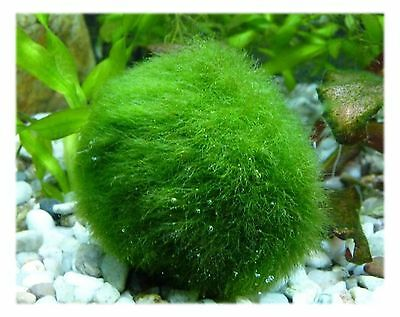 Marimo Moss Ball Large Size 3~4cm Great for Tank Fish or Vase. USA seller