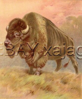 Buffalo American Bison, Exquisite Large Antique Chromolith 1890s Print