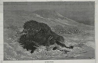 Buffalo American Bison, Injured Wounded in Snow, 1870s Antique Engraving Print