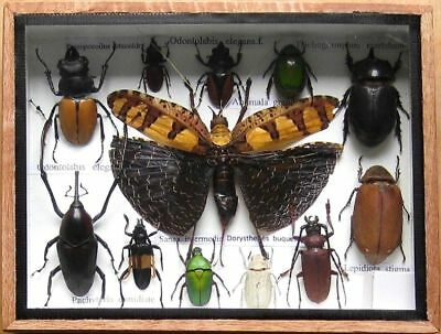 12 Real Insect Rare Insects Display Beetle Taxidermy in Wood Box Collectible