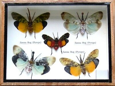 5 Real Zanna Bug Rare Insect Display Beetle Taxidermy in Wood Box Collectible
