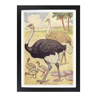 Framed Picture Print A2 Vintage Percy J Billinghurst Ostriches Animal Wall Art