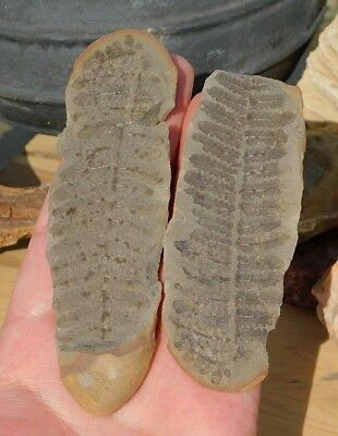 Natural Tree Fern Frond Fossil Pair in Shale Stone from USA Carboniferous Period