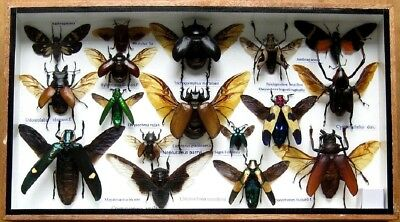 Real Mounted Beetle Boxed Rare Insect Display Bug Taxidermy Entomology Zoology