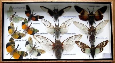 Real Insect Display Taxidermy Entomology Beetle Big Set Bug in Box Collectible