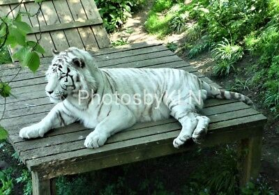 White Tiger Photo Photograph Greeting Card Animal Zoo Cat