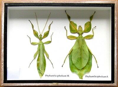 2 Real Rare Beetle Insect Display PHYLLIUM Bug Taxidermy in Box Collectible