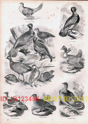 BIRD Grouse Breeds & Capercaillie, Antique 1840s Print