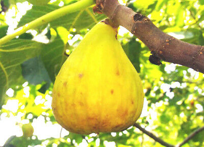 hardy Fig Tree plant FICUS CARICA YELLOW GIANT, large yellow fruit, self fertile