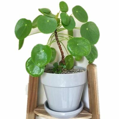 50 pcs/pack Bonsai Amazing The pancake plant chinese money plant For Home Garden