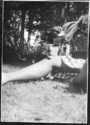 Vintage Photograph 1930-40S Boston Terrier Dog Puppy Pup Leather Harness Photo
