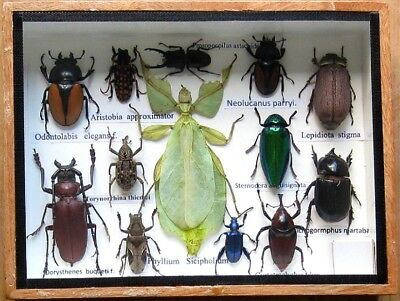 Real Beetle Rare Insect Display PHYLLIUM Bug Taxidermy in Box Collectible
