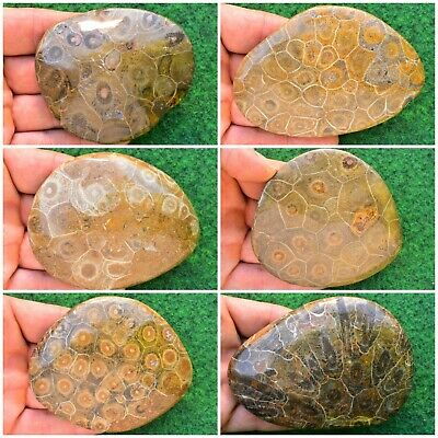 7cm Extra Large Cretolamna Fossil Shark Tooth Real Fossil Pick Your own Specimen