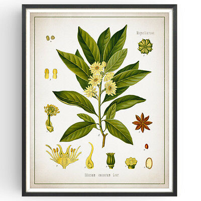 Botanical Print | Japanese Star Anise | Spice | Home Decor | Picture | Wall Art