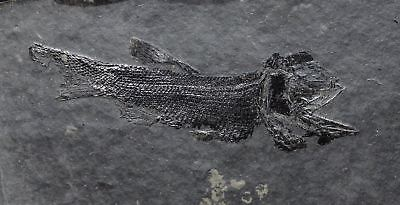 Fossil fish, Parambylypterus sp. Czech Republic, Finely preserved detail