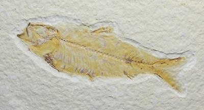 Fossil Fish, Knightia eocena, 3.21 inches, Green River Formation, Wyoming