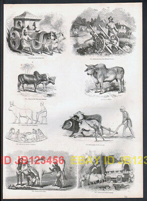 COW Zebu, Antique 1840s Print with 8 Views