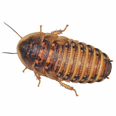 Dubia Roaches - 3 Tubs - Medium - Livefood