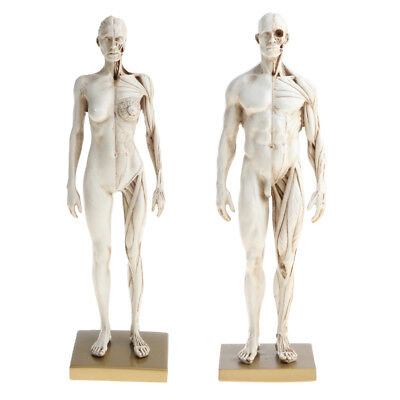 11'' MALE FEMALE Anatomy Figure Collection Artist Anatomical Reference White