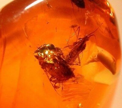 Super RARE Lace Bug with Bee Sticking Tongue Out in Authentic Dominican Amber!