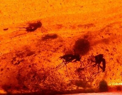 6 Mycetophilid Flies in Lovely Cherry RED Burmite Amber Fossil from Dinosaur Age