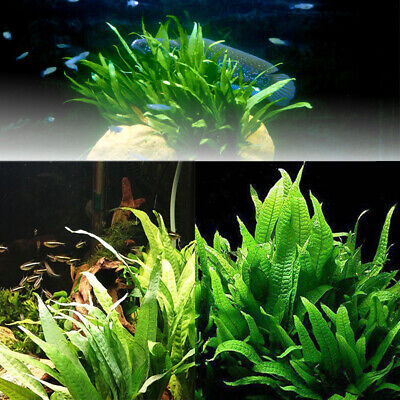 100Pcs Fern Live Aquarium Plant Seeds Fish Tank Aquatic Water Grasses
