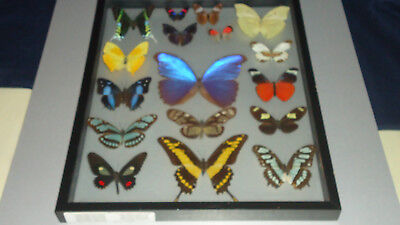 Vintage Wood Framed Display of 17 Real Butterflies Under Glass Black Frame