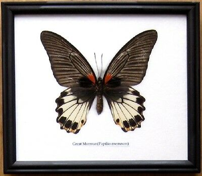 Real Giant Butterfly Great Mormon Insect Display Taxidermy Bug in Wood Frame
