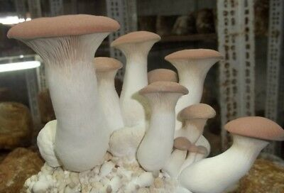 KING OYSTER MUSHROOM Spawn/Mycelium LiVE Spawn 10g Seed Kit Fast From USA!